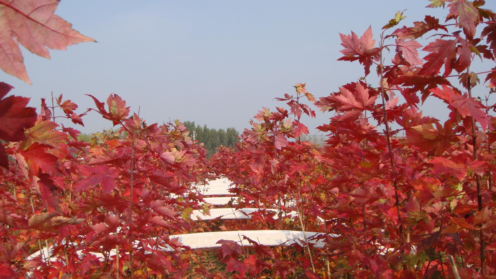 美国红枫又名红花槭,槭树科槭树属。落叶大乔木,树高12-18米,高可达27米,冠幅达10余米,树型直立向上,树冠呈椭圆形或圆形,开张优美。单叶对生,叶片3-5裂,手掌状,叶长10厘米,叶表面亮绿色,叶背泛白,新生叶正面呈微红色,之后变成绿色,直至深绿色,叶背面是灰绿色,部分有白色绒毛。3月末至4月开花,花为红色,稠密簇生,少部分微黄色,先花后叶,叶片巨大。茎光滑,有皮孔,通常为绿色,冬季常变为红色。新树皮光滑,浅灰色。老树皮粗糙,深灰色,有鳞片或皱纹。果实为翅果,多呈微红色,成熟时变为棕色,长2.