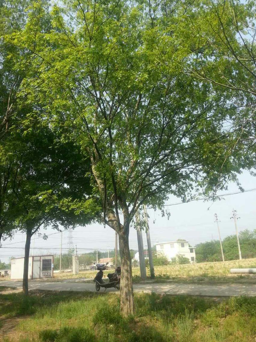 榔榆树扦插繁殖