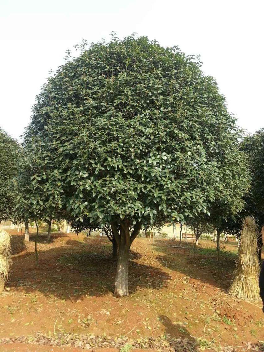 杨梅树苗价格 - 句容市天王镇再平苗木种植基地