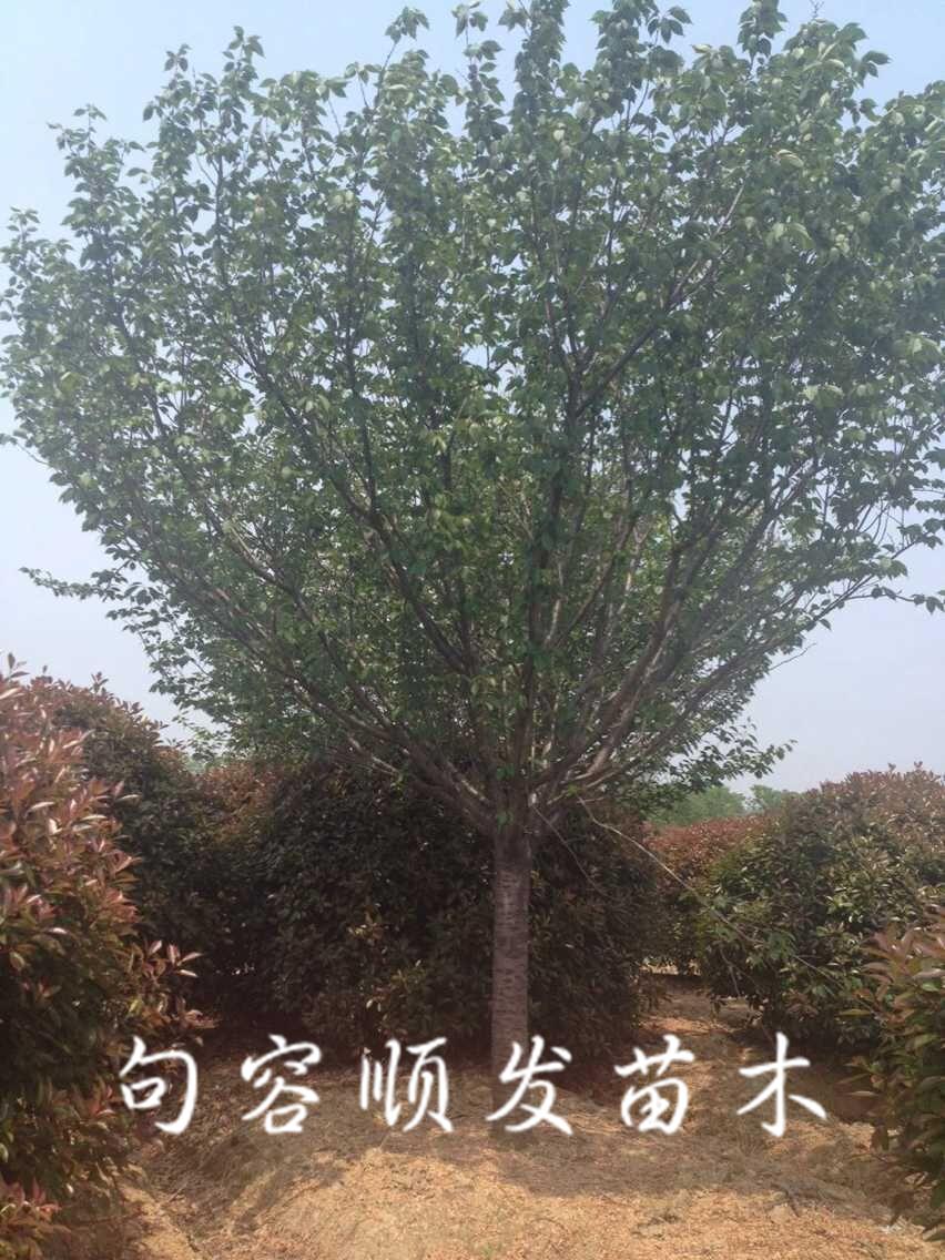 """在《中国植物志》新修订的名称中专指""""东京樱花"""""""