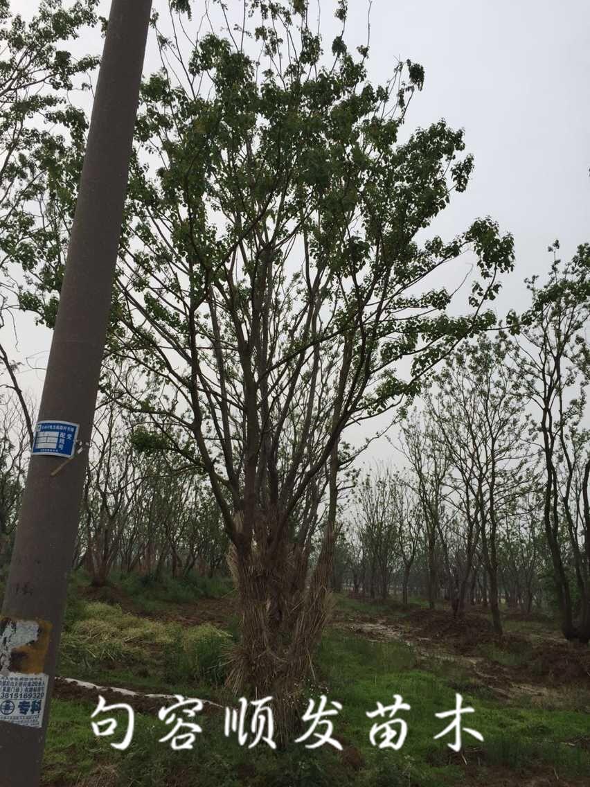 别名:腊子树,桕子树,木子树,乌桖,桊子树,桕树,木蜡树,木油树,木