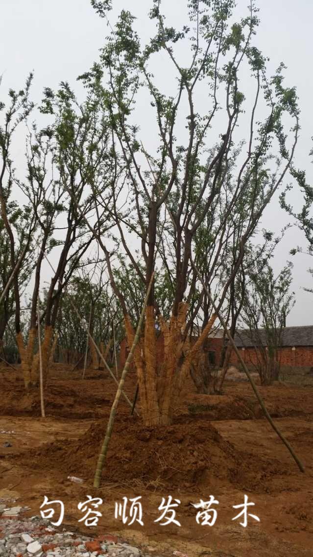 丛生朴树批发直销 - 句容市天王镇顺发苗木种植园