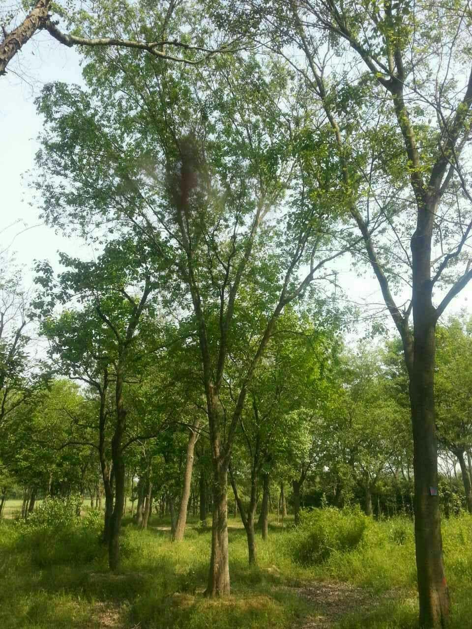 榔榆木树坚硬,可供工业用材;茎皮纤维强韧,可作绳索和人造纤维