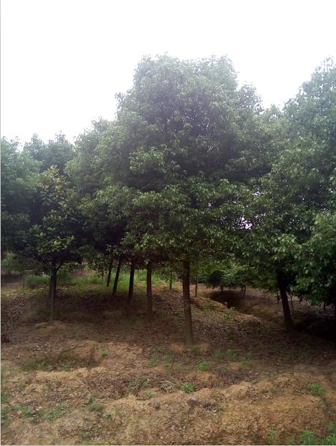 白樟树图片大全