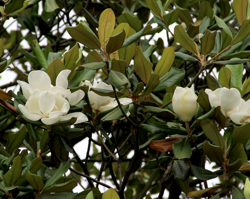 广玉兰树开花图片