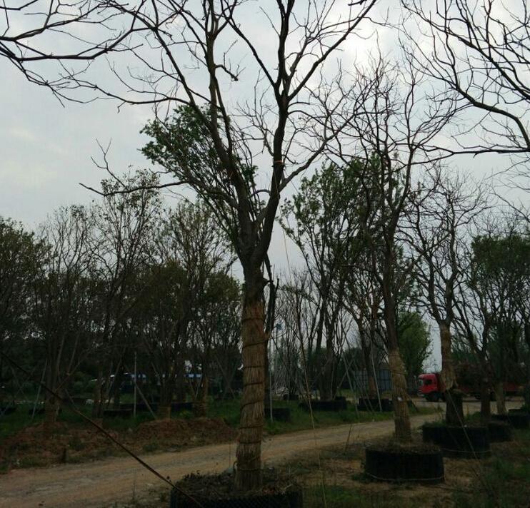 乌桕树图片,乌桕树图片大全,句容市茅山风景区阳静-5