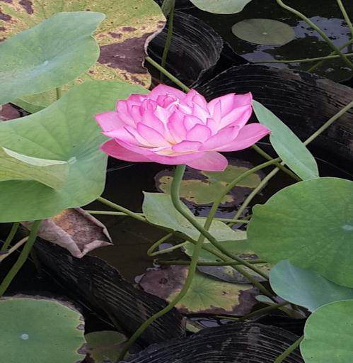 池塘内常有革命草,稗革等杂草
