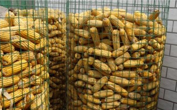 玉米初生结构图片