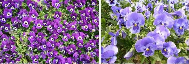 三色堇别名为蝴蝶花、鬼脸花为二年生草本花卉,株高15-25cm全株光滑,分技多,基生叶园卵形。花色艳丽,北方自然花期4-6月,南方在7月中旬播种,可在11月下旬开花,花期可延至来年6月。三色堇在北方种植是为多年生草花,低温能延长其生长期,能渡过寒冷冬季,到春季再展新貌,在南方多作一年生种植。   品种介绍:(均为进口F1品种)   一、大花型品种   1、特大皇上系列:巨花型,花径约11cm带有花斑,株高约15-20公分。花色有:黄色有斑、白色有斑、上瓣紫蓝/下瓣白色有斑、红至啡黄色带斑、深蓝至浅蓝有