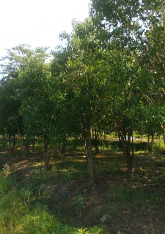 是园林中常用的观赏树种