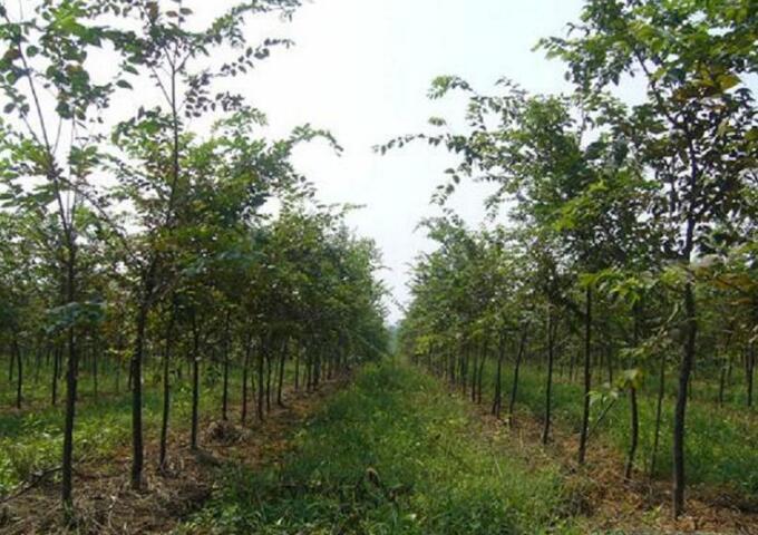 榉树苗木供应
