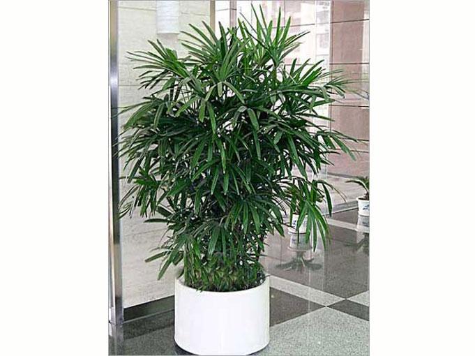 丛生灌木,高2-3m,茎干直立圆柱形,有节,直径1.