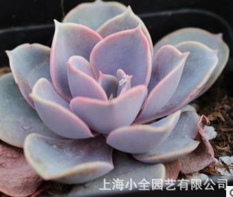 紫珍珠图片