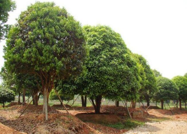 代表物种木犀:又名,岩桂,系木犀科常绿灌木或小乔木,质坚皮薄,叶长