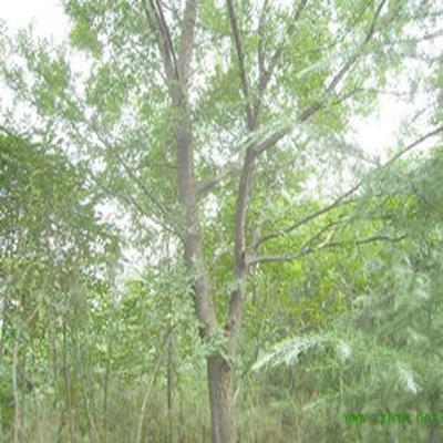 榔榆木树坚硬,可供工业用材;茎皮纤维强韧,可作绳索和人造纤维;根,皮