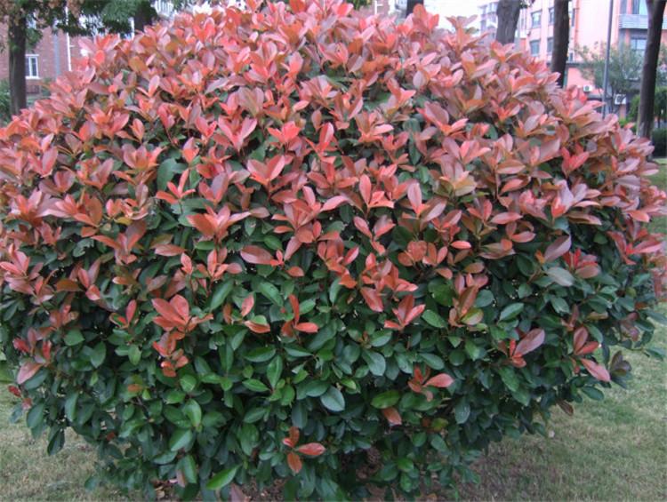 30-50公分红叶石楠