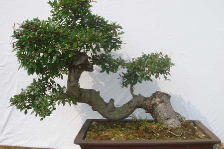 榔榆树桩盆景图片