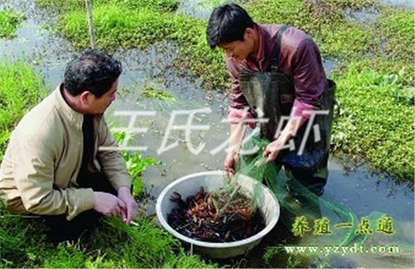 青海龙虾苗养殖基地
