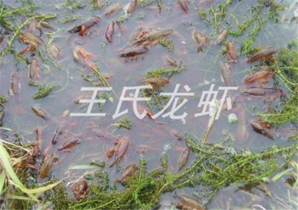 龙虾苗养殖基地