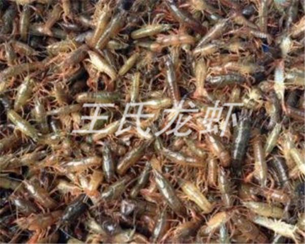 青海龙虾苗批发