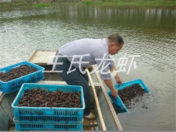 黑龙江龙虾苗养殖基地