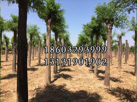 国槐8公分-14公分供货商