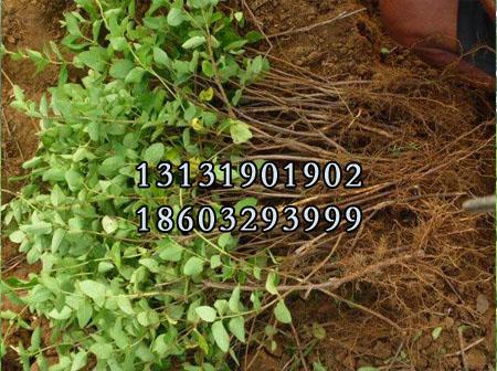 金银花苗5公分种植