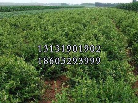 金银花苗8公分种苗