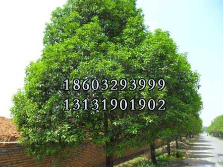 国槐15公分-21公分种苗