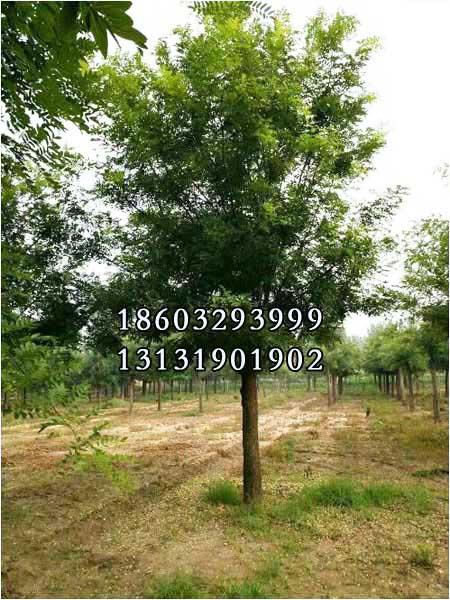 国槐29公分-35公分种苗