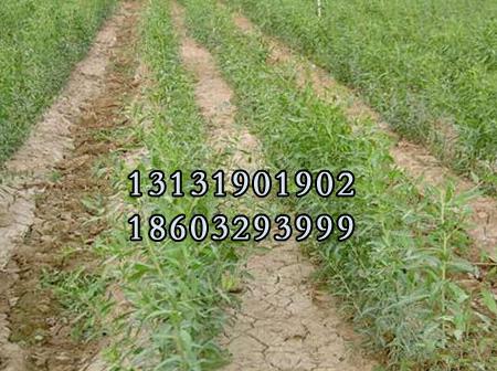 红枸杞苗4公分