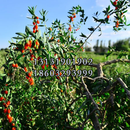 红枸杞树苗6公分