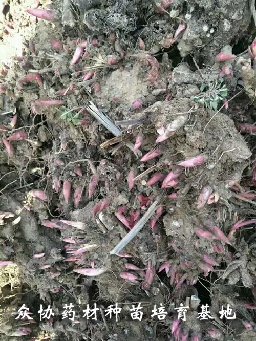 白芍芽供货商