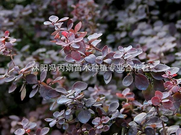 红叶小波种苗