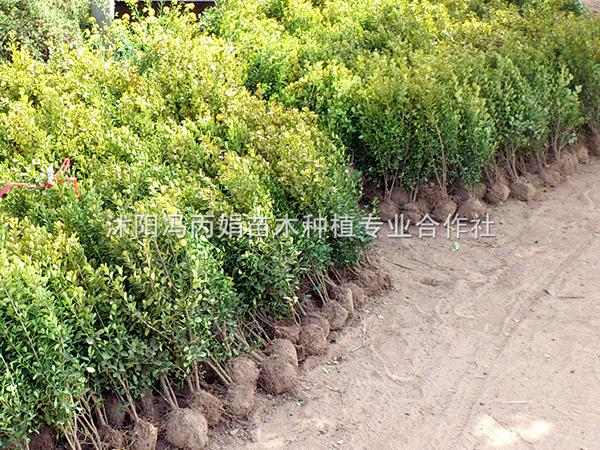 大叶黄杨树苗