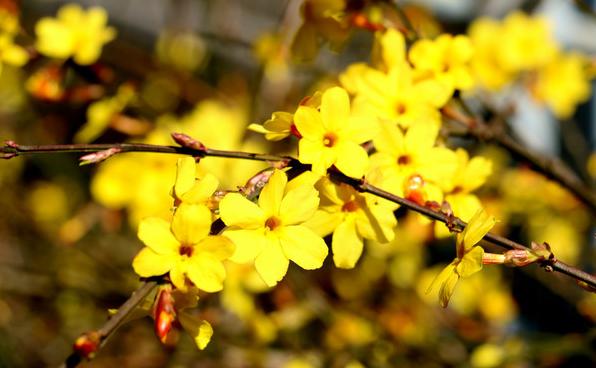 迎春花种植