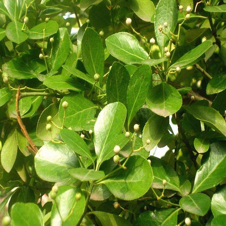 大叶黄杨移栽