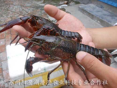 小龙虾批发