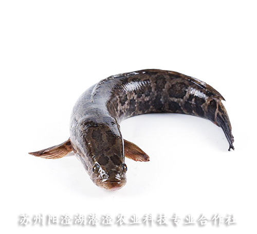 黑鱼批发价格