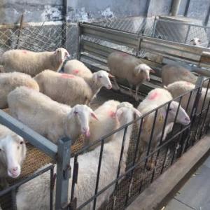 湖羊種羊廠家