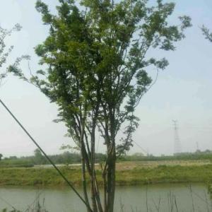 句容丛生朴树