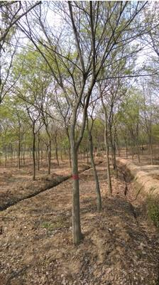 榉树销售 - 句容市天王镇唐陵良诚绿叶苗木种植园