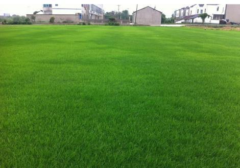 矮生百慕大草坪直销 - 句容市后白镇乔维草坪种植场