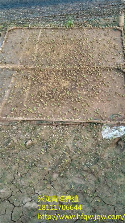 青蛙养殖6 - 乐至县良安兴农水产养殖场 - 烽火台云