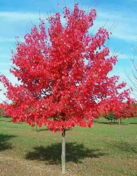 美国红枫_美国红枫大树