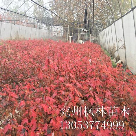 山东美国红枫1