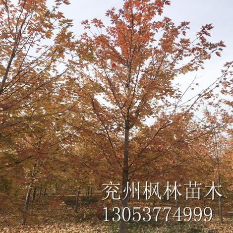 山东美国红枫2