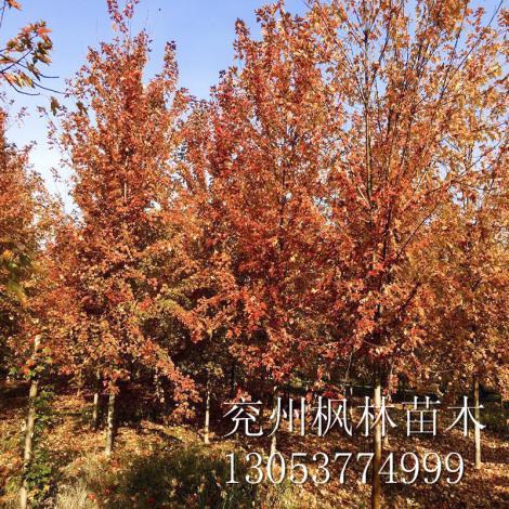 山东美国红枫3