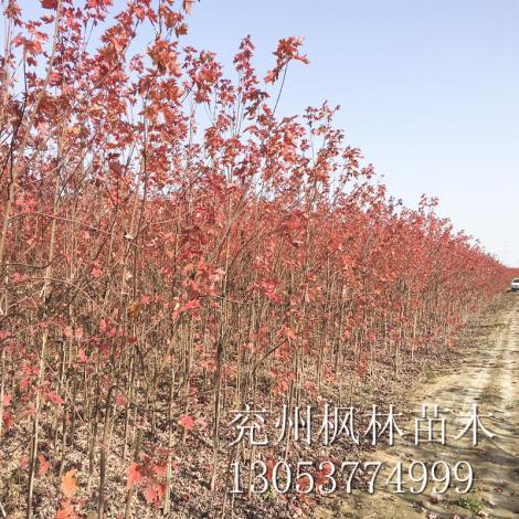 山东美国红枫5