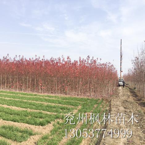 山东美国红枫6